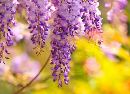民宿小夜景⋯ 盛開的紫藤